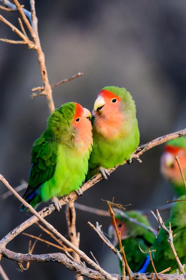 Two loving romantic rosy faced lovebirds royalty free stock photo