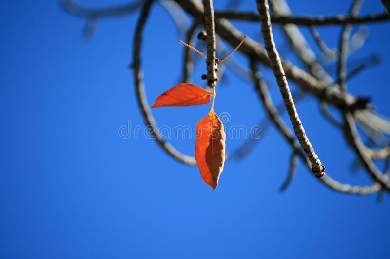 TWO LUMINOUS RUST COLOURED AUTUMN LEAVES ON A TWIG ON A TREE. View of a tree with two rust coloured leaves in Autumn with intense blue sky in the background stock image