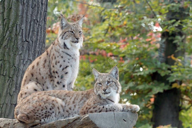 Two lynx resting
