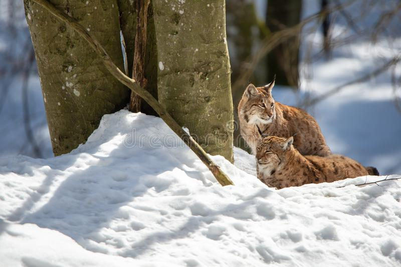Two lynxes resting in the snow in winter - National Park Bavarian Forest royalty free stock photo