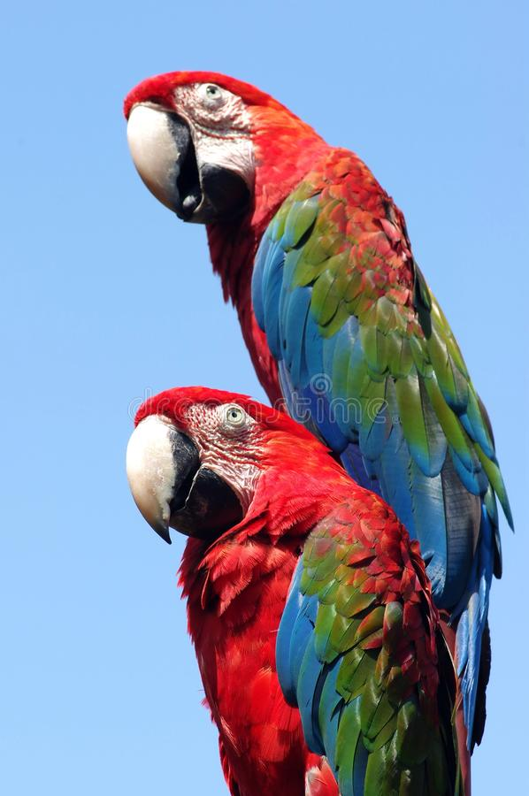 Two Macaw. Love birds。Portraits of macaw birds in park stock image