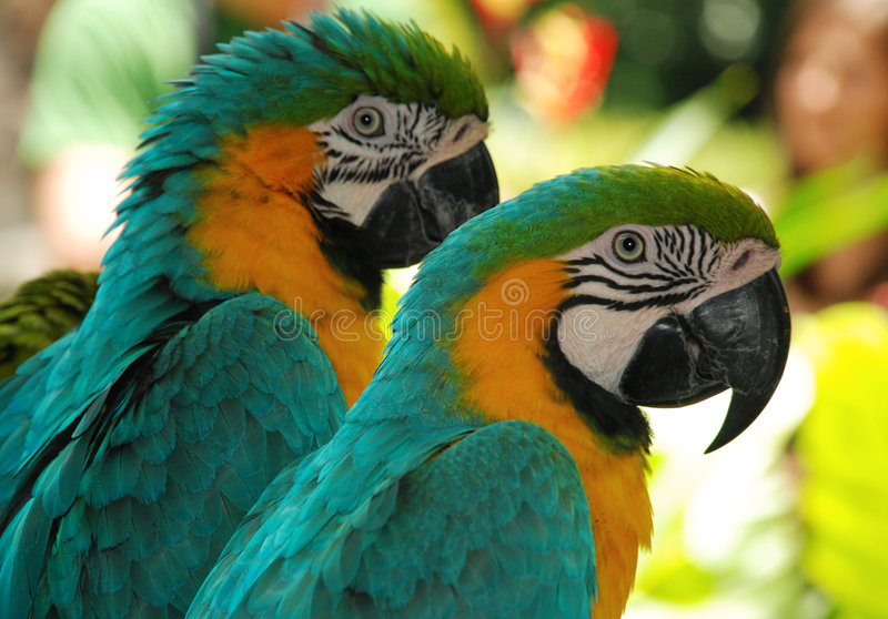 Two macaw love birds. Portraits of macaw birds in park