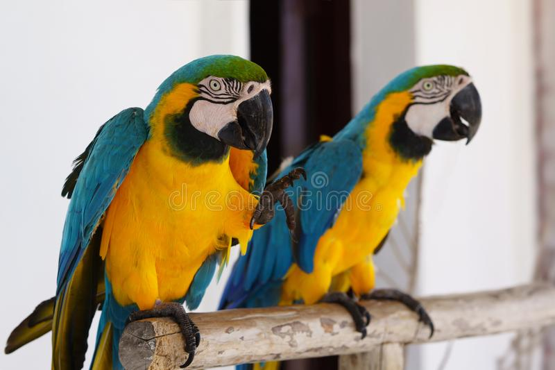 Two macaw parrots stock images