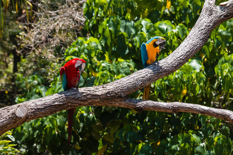 Two macaw parrots. Sitting on tree branch stock photos