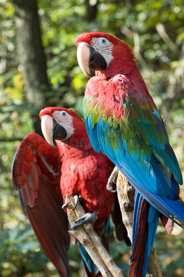 Two macaws. Two green-winged macaws sitting on a branch royalty free stock photography