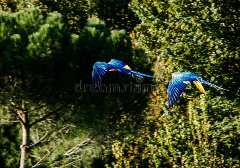 Two macaws flying with a green forest background stock image