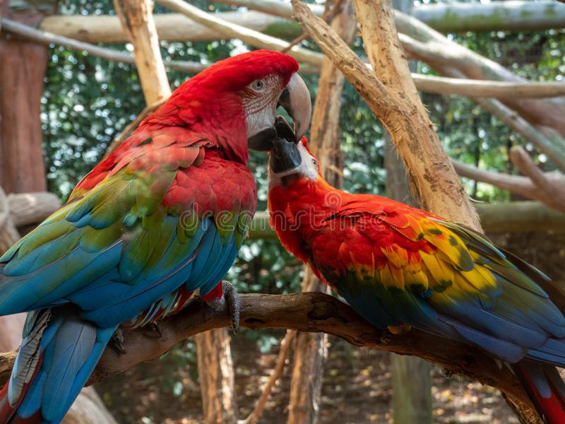 Two Macaws on a Perch stock photos