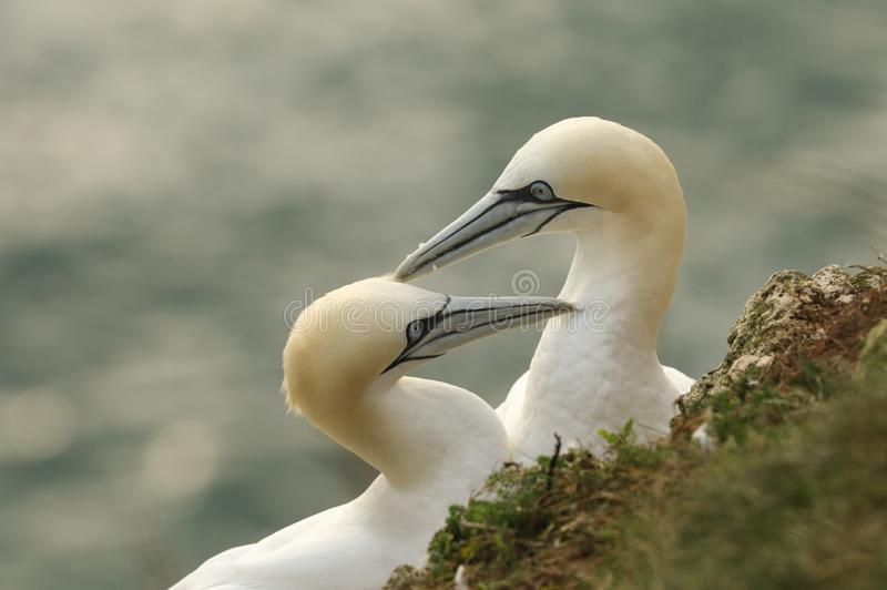 Two magnificent courting Gannet, Morus bassanus, standing on the edge of a cliff in the UK. royalty free stock photo