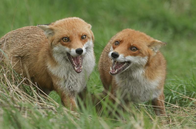 Two magnificent wild female Red Foxes Vulpes vulpes both with their mouths open whilst hunting for food in a field of long grass. Two wild female Red Foxes stock photos