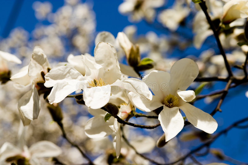 Two Magnolia Flowers royalty free stock image