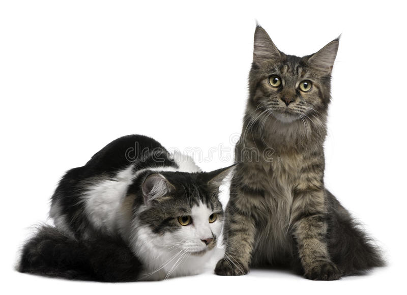 Two Maine Coon Cats, 8 and 9 months old royalty free stock photos