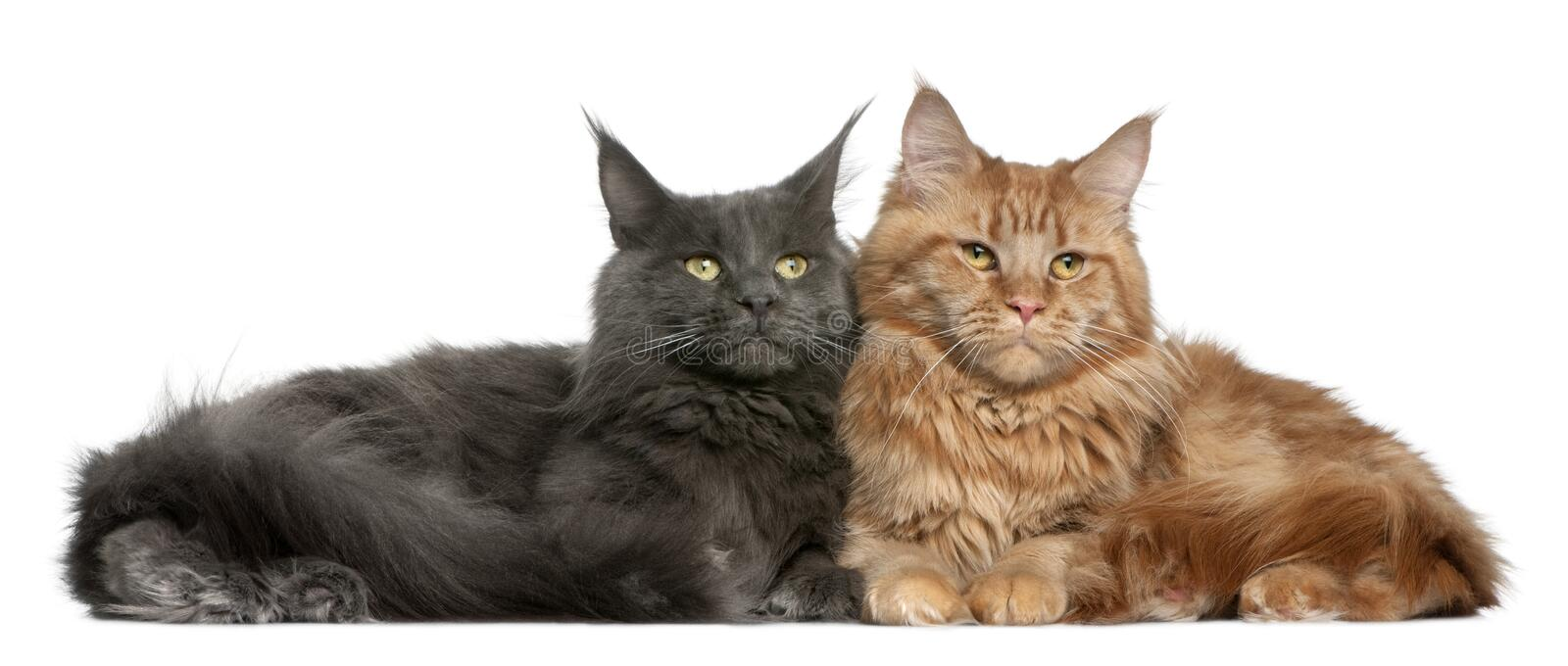 Two Maine coons, 15 months old. Sitting in front of white background royalty free stock photos