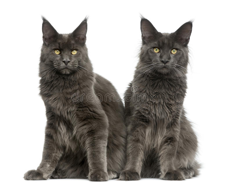 Two Maine Coons stock images