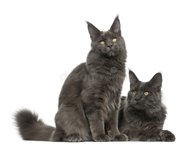 Two Maine Coons royalty free stock image