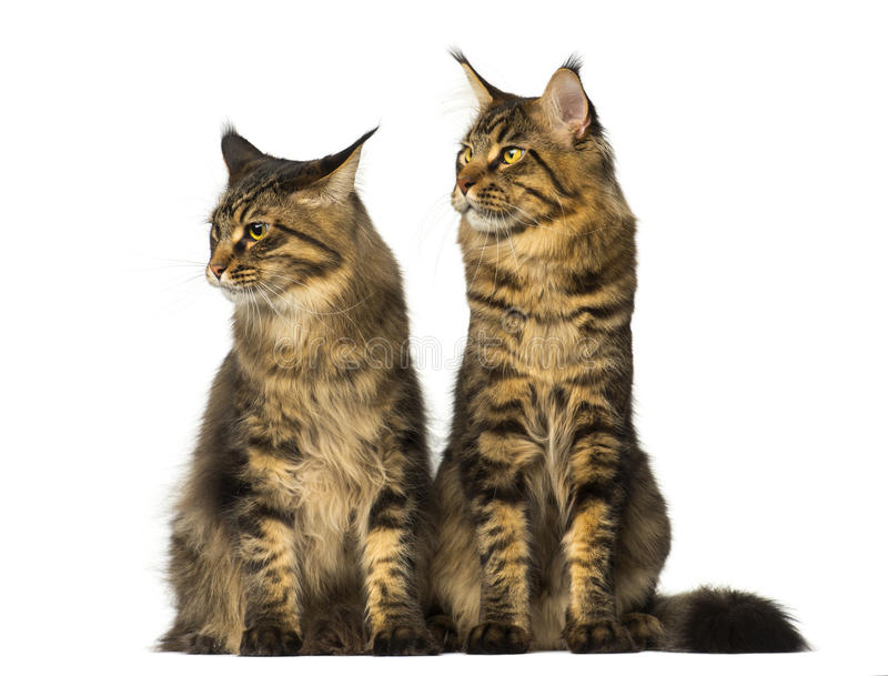 Two Maine Coons sitting and looking away stock photos