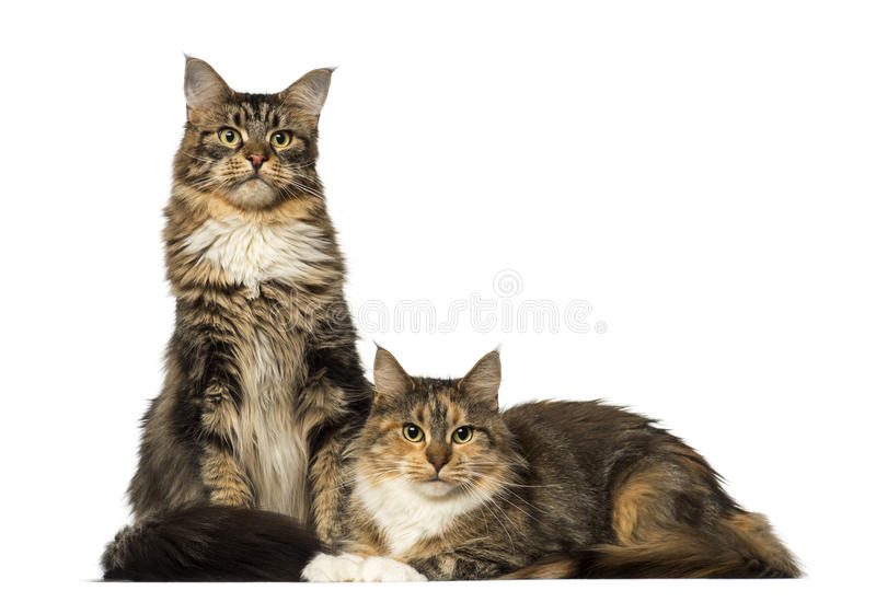 Two Maine Coons sitting, lying and looking away stock image
