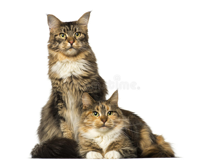 Two Maine Coons sitting, lying and looking away. Isolated on white stock photography