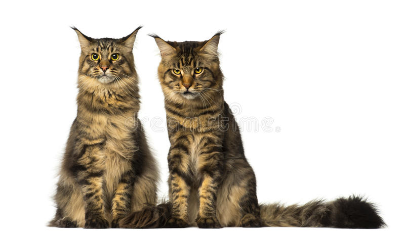Two Maine Coons sitting and one of them is sulking stock image