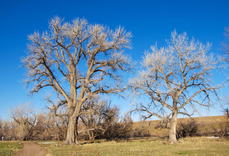 Two Majestic Bare Trees By a Path