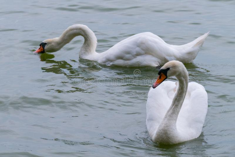 Two majestic white swans with large wings float on a transparent lake. For your design stock photos