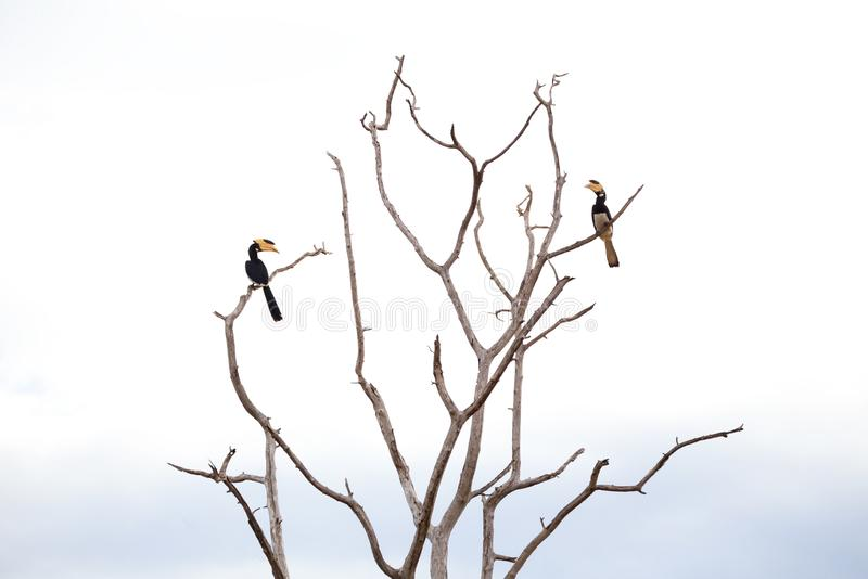 Two Malabar Pied Hornbill Perched High in a Dead Tree in Sri Lanka. Two Malabar Pied Hornbill Anthracoceros coronatus sit high in a long-dead tree on the plains stock photos