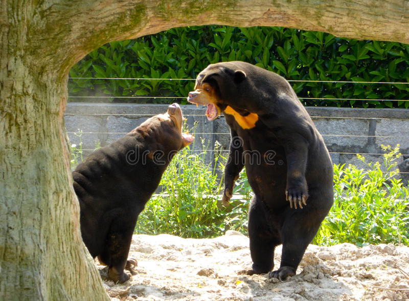 Two Malayan Sun Bears roaring. Two Malayan Sun Bears,Helarctos malayanus Raffles, standing up to yell at each other at Shanghai wild animal park on a sunny day