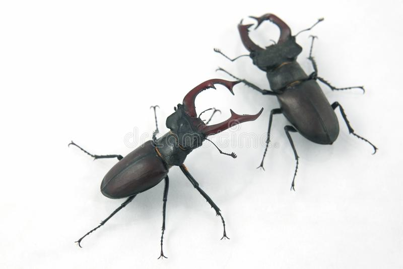 Two male beetles deer on white background stock photos