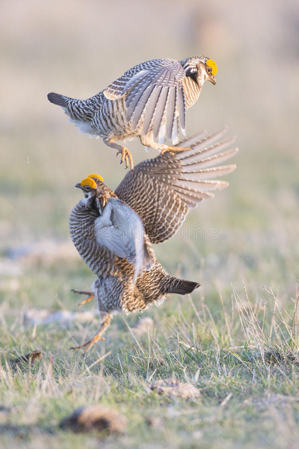 Two male prairie chickens fighting stock photography