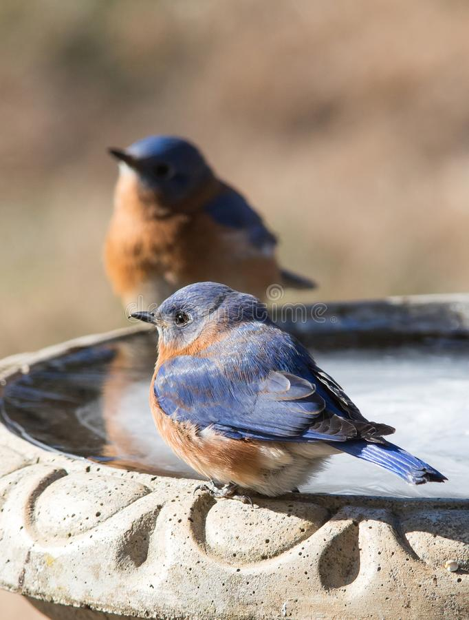 Two Male Eastern Bluebirds royalty free stock image