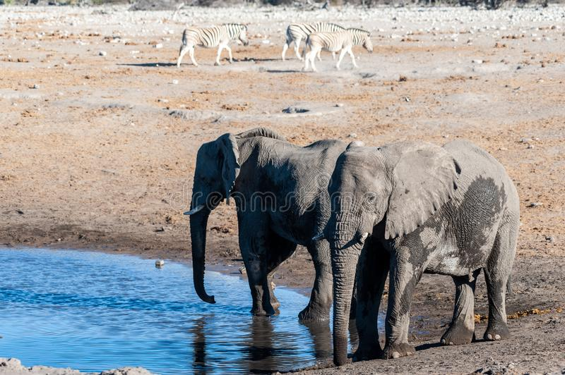 Two Male Elephants Drinking from a water hole. Two African Elephants -Loxodonta Africana- drinking from a waterhole. Etosha National Park, Namibia stock photography