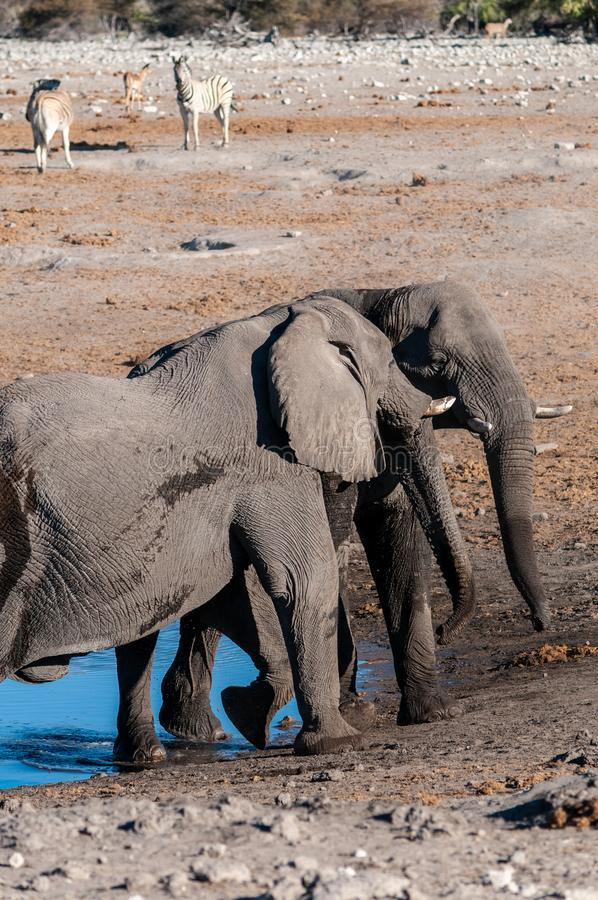 Two Male Elephants Fighting each other. Two male African Elephants -Loxodonta Africana- challenging each other near a waterhole in Etosha National Park, Namibia stock photos