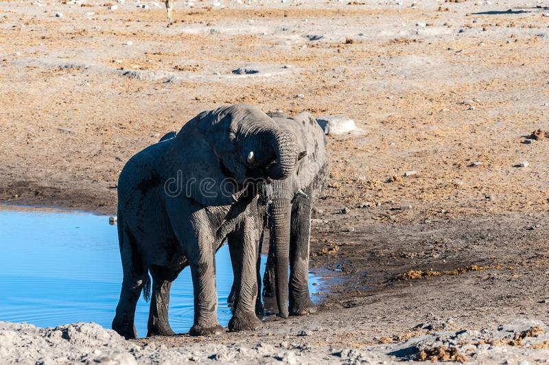 Two Male Elephants Fighting each other. Two Male African Elephants -Loxodonta Africana- standing next to each other near a waterhole. Etosha National Park royalty free stock photography