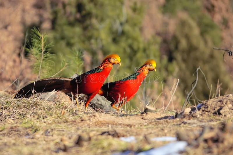 Golden pheasant. Two male Golden pheasant stand on ground in mountain forest. Scientific name: Chrysolophus pictus stock photography