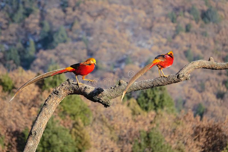 Golden Pheasant stock photos