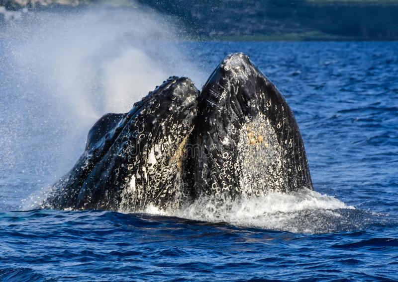Two Male Humpback Whales fighting in Maui Hawaii stock image