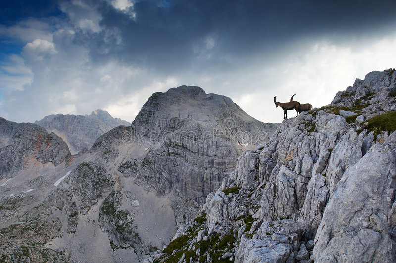Two male ibex stock photos