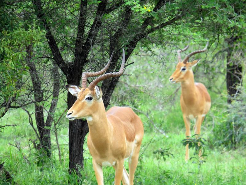 A two male impala`s on alert while grazing stock photo
