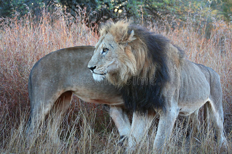 A two male lion coalition circling each other stock photo