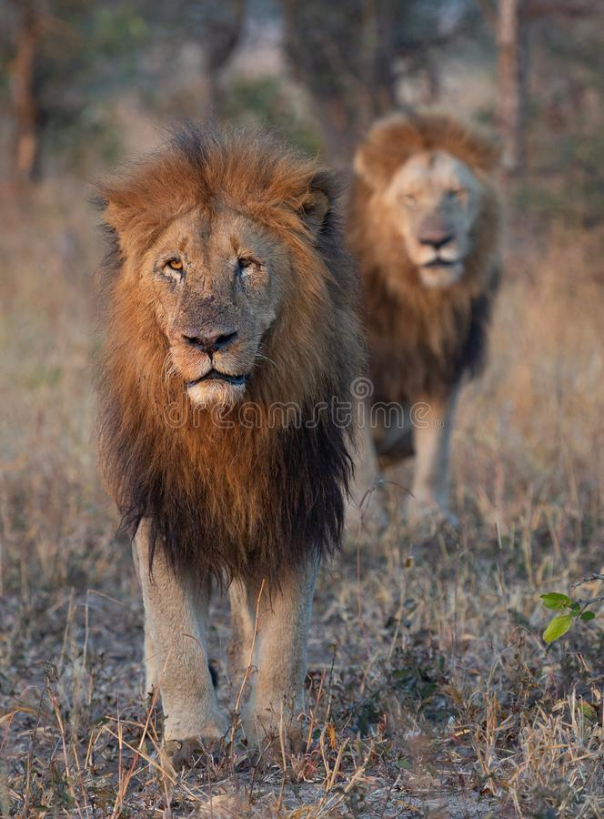 Brothers for life - male lions royalty free stock photos