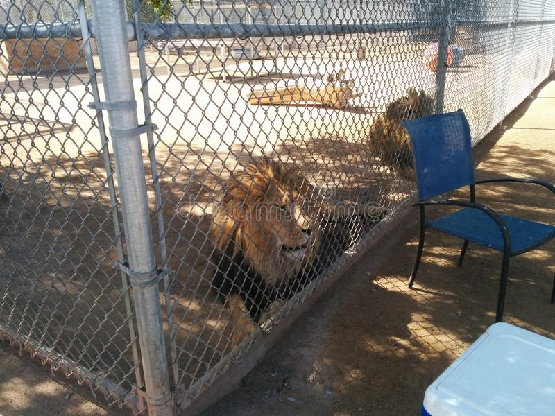 Two male lions in cage at Lion Habitat Ranch. Two male lions looking through fence at Lion Habitat Ranch in Henderson, Nevada, near Las Vegas - with balls and a stock images