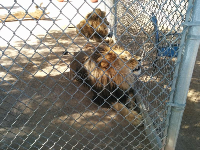 Two male lions in cage at Lion Habitat Ranch. Two male lions looking through fence at Lion Habitat Ranch in Henderson, Nevada, near Las Vegas - with one showing royalty free stock photography