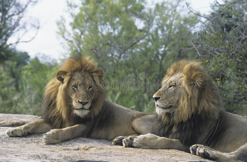 Download Two Male Lions Lying On Rock Stock Image - Image: 30846735