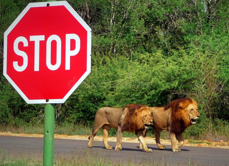 Two male lions walking the tar road next to a big stop sign royalty free stock photography
