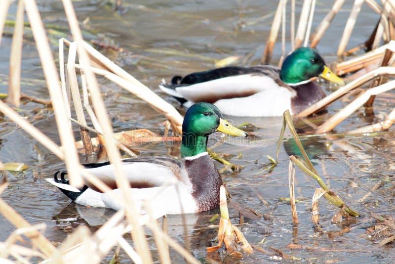 Two Male Mallard ducks afloat in early spring. Male Mallard duck afloat in early spring stock photos