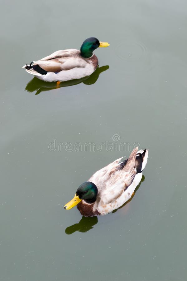 Two male Mallard Ducks swimming in water stock image
