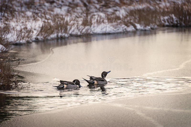 Two Male Pintail Ducks on a Frozen Pond stock photography