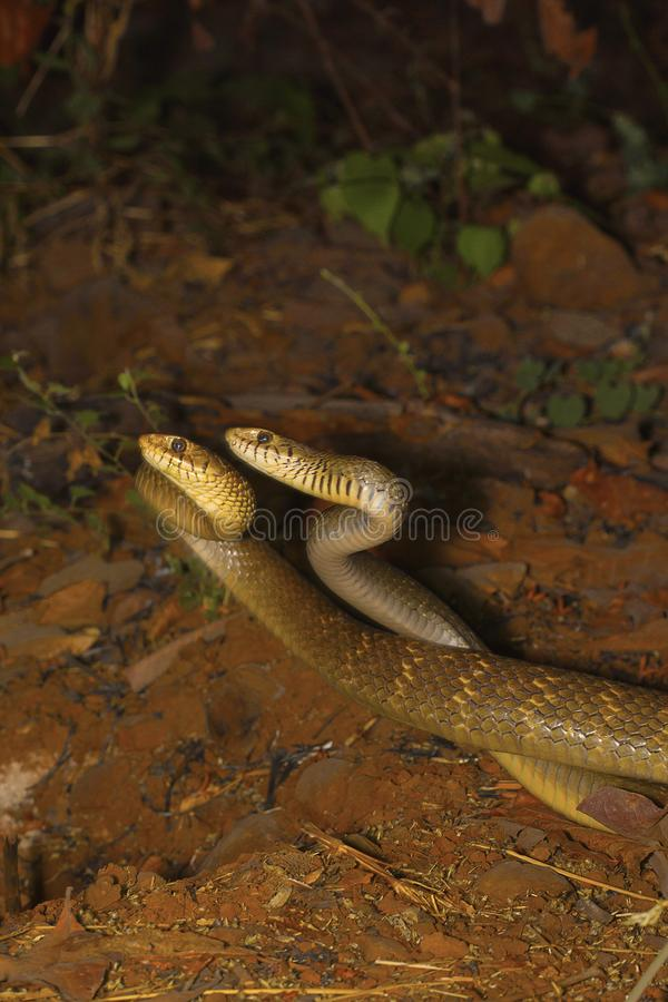Two male rat snakes, Ptyas mucosa in a combat. Aarey Milk Colony, Mumbai, Maharashtra, India stock photos