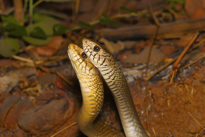 Two male rat snakes, Ptyas mucosa in a combat. Aarey Milk Colony, Mumbai, Maharashtra, India stock photo
