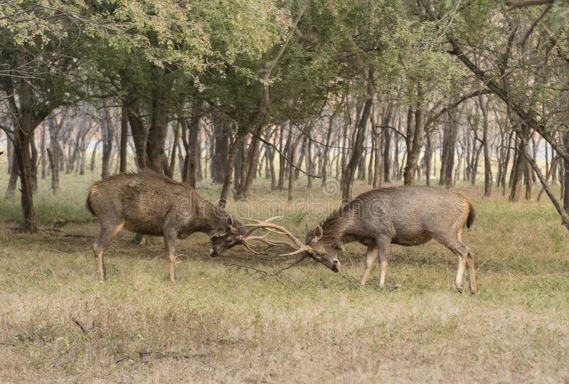 Two male sambhar deers fighting, Ranthambhore, Rajasthan, India stock photo