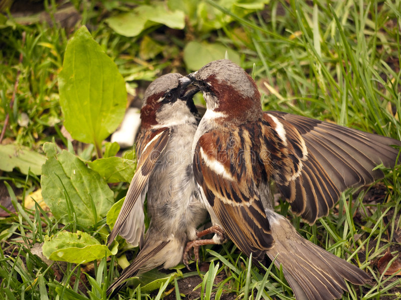 Two male sparrows fighting stock images